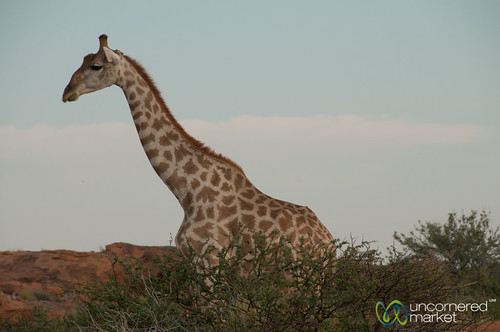 Giraffe, Northern Cape