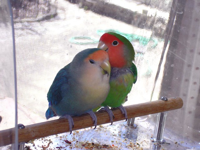 wingdowlovebirds08