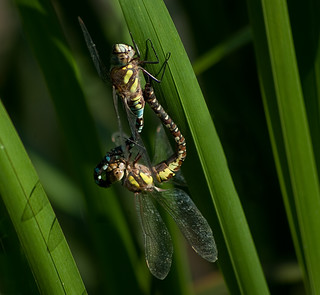 Mating migrant hawkers Tophill Low