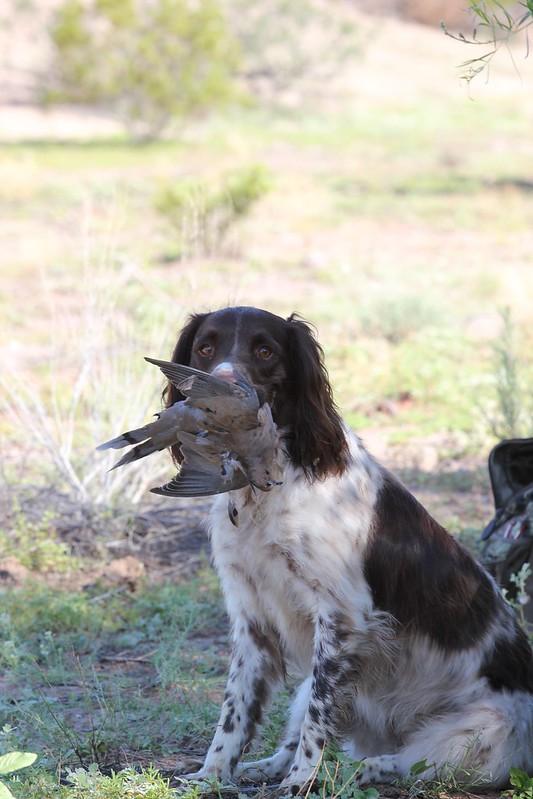 Duck Hunting Chat • Springer Spaniel : Hunting Dog Forum