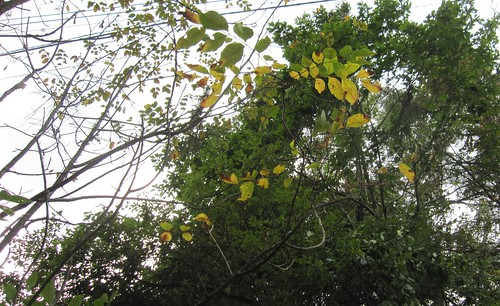 薄曇りの中、紅葉した葉が落ちていきます・・・2013.9.22 by Poran111