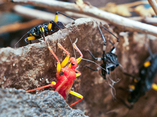 White-eyed Assassin Bug (Platymeris biguttatus) at Woodland Park Zoo (1)