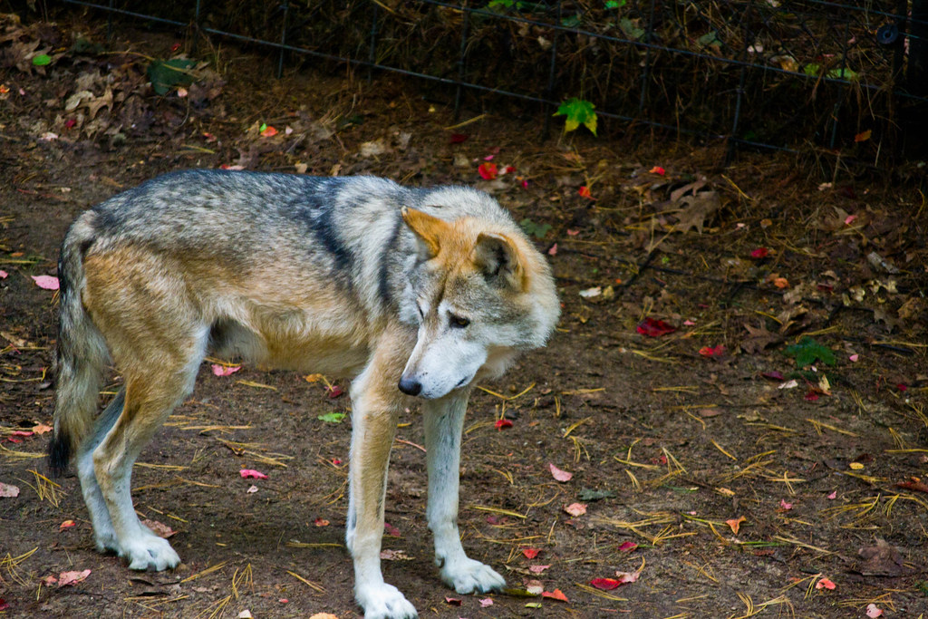 Mexican wolf9