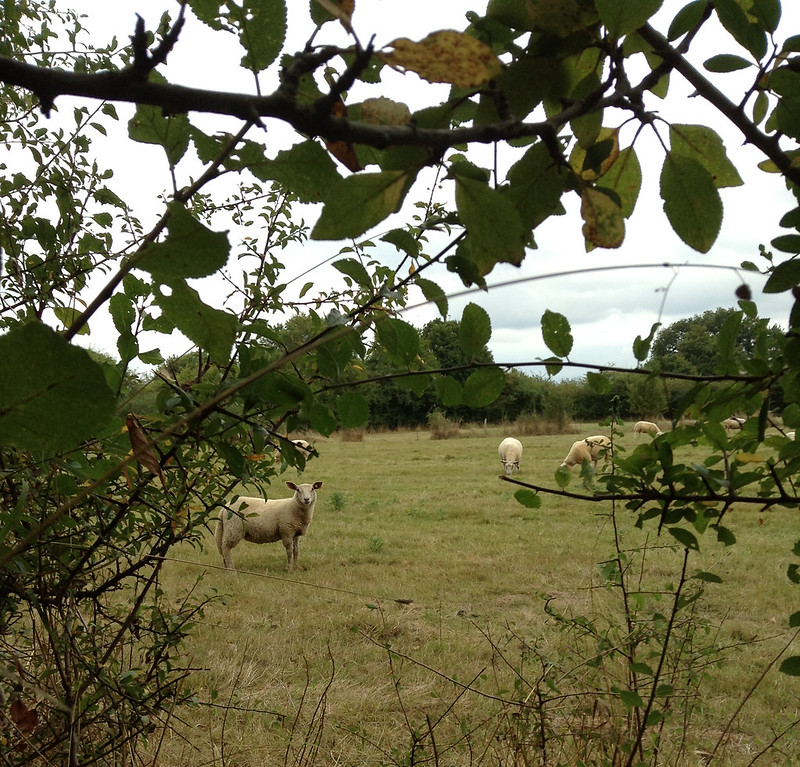 Spying on sheep.
