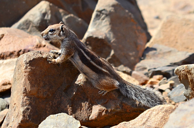 Barbary Ground Squirrel, Fuerteventura