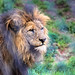 Small photo of African Lion