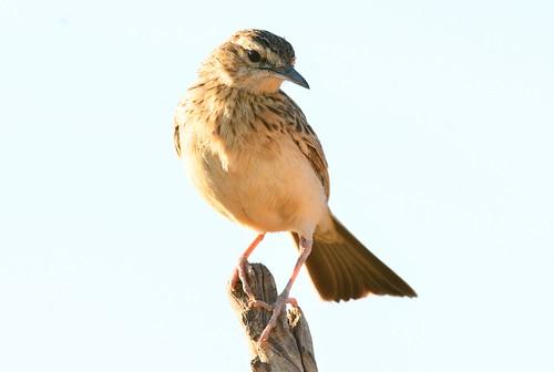 botswana ramotswa shortclawedlark certhilaudachuana