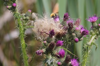 A tangle of thistle