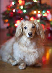 Honey in front of doxie tree