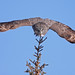 Great Gray Owl...#18 by Blackcat Photography