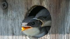 Baby Bird - Hungry - Biting