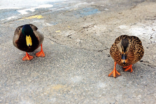 Parking lot ducks