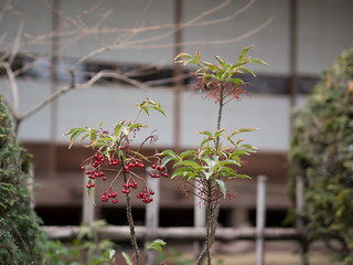 Coralberry and Japanese Shoji