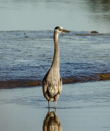 Blue Heron Spencer Island