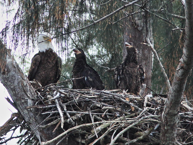 Bald Eagles Pride Honor and Glory 20140220