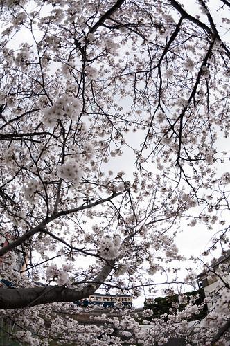 桜と山スカ