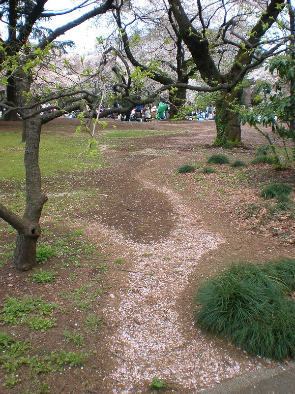Sakura Petal Path at Shinjuku Gyoen Park