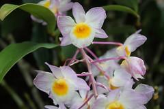 flower, plant, laelia, phalaenopsis equestris, flora, petal,