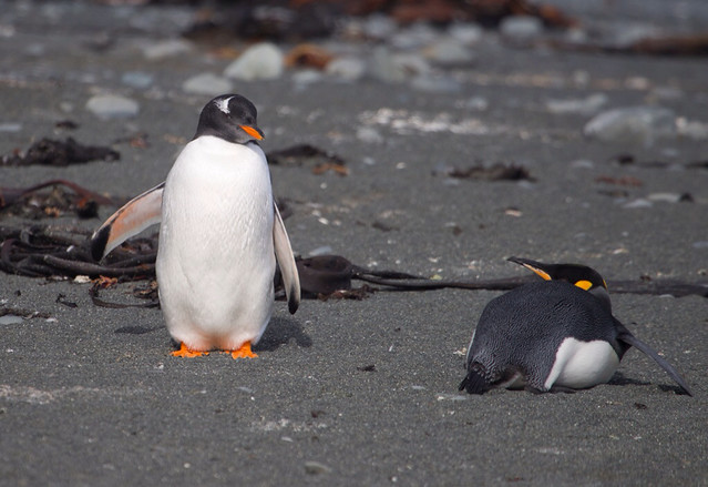 Gentoo and King Penguin on Macquarie Island.
