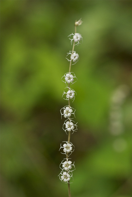 Smallflower Miterwort