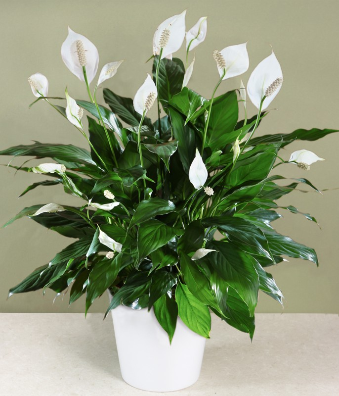 1plants-peace-lily