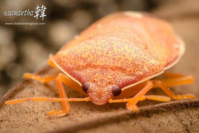 Macro Stink Bug_9459