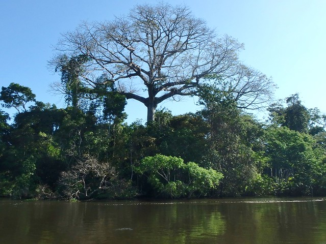 Sumauma, one of the tallest trees in the Amazon