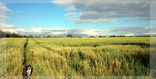 bordercolliefieldlandscapethurlestipperaryrunningwheatbarleycornharvestdog dogjohncarey