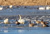Tundra Swans and Cackling Geese