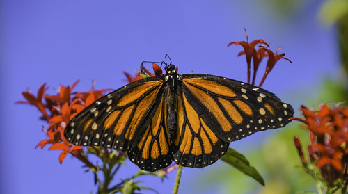 Monarch Butterfly | by Charles Patrick Ewing