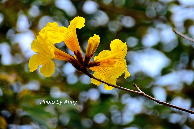 黃風鈴木8