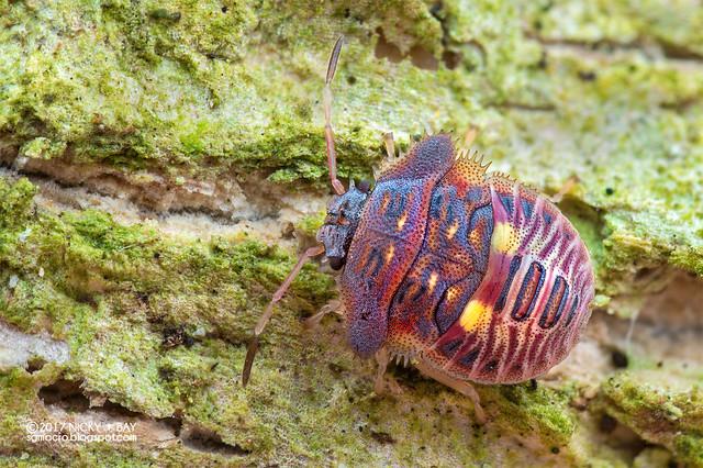 Stink bug nymph (Pentatomidae) - DSC_1668