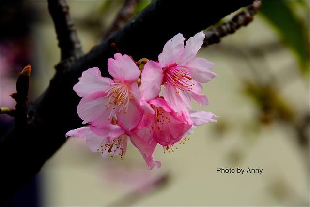 麗池櫻花9