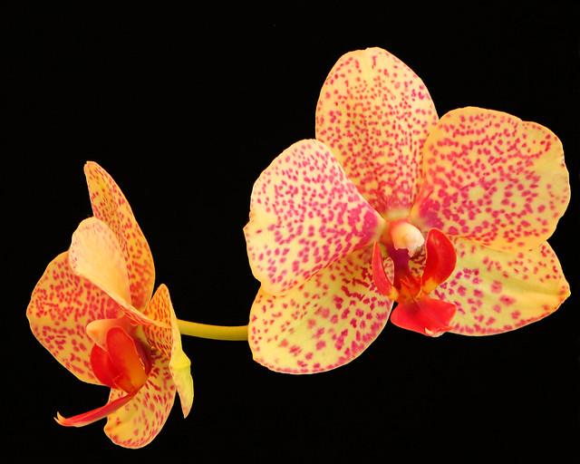 Orchid, Canon EOS 5D MARK III, EF100mm f/2.8 Macro USM