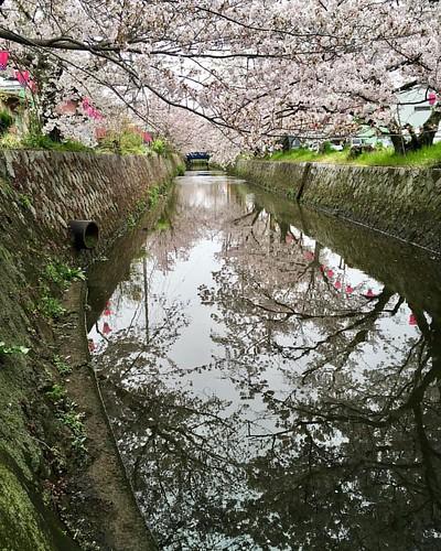 みどり川沿い #桜 #🌸 #cherryblossom #flower