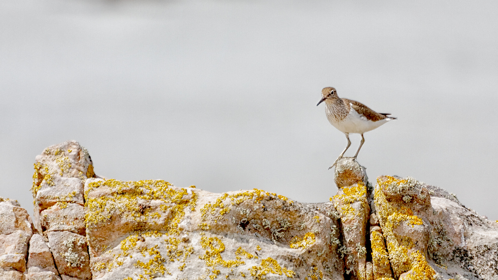 Me and my gal, the Common Sandpiper
