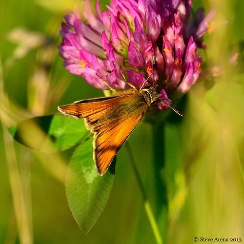 butterfly bug insect skipper europeanskipper wachusettview