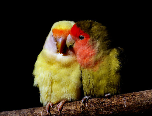 Peach faced love birds.