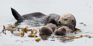 Mother sea otter with rare twin baby pups | by mikebaird