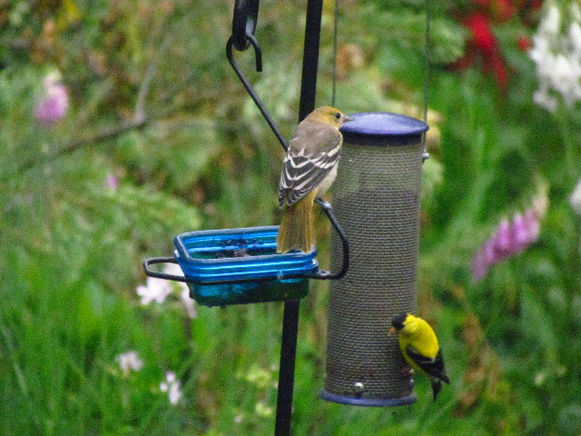 Oriole feeding lesson1 6:27:13