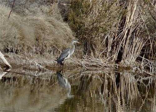 Great Blue Heron, Mesilla Valley