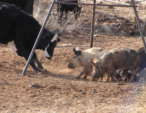 Livestock interacting with feral swine at a feeder in New Mexico.