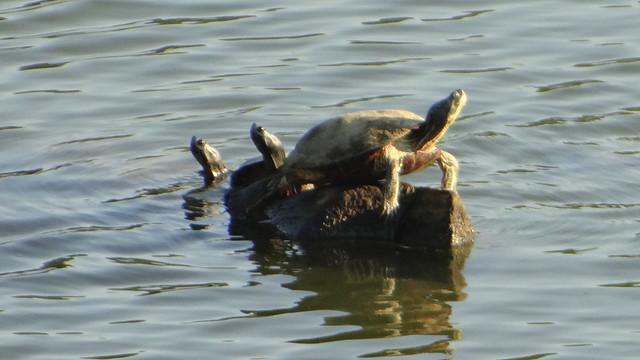 DSC06610 turtles 240813 Lone Elk Park