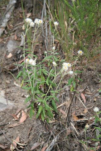 20130822_0848 Helichrysum elatum - White Paper Daisy