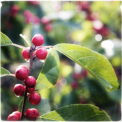 Bright Red Berries by The Shutterbug Eye™