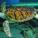 Small photo of Aquar.green sea turtle