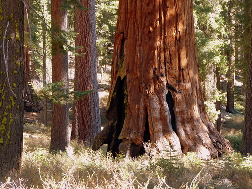 Giant Sequoia in the Mariposa Grove, Yosemite