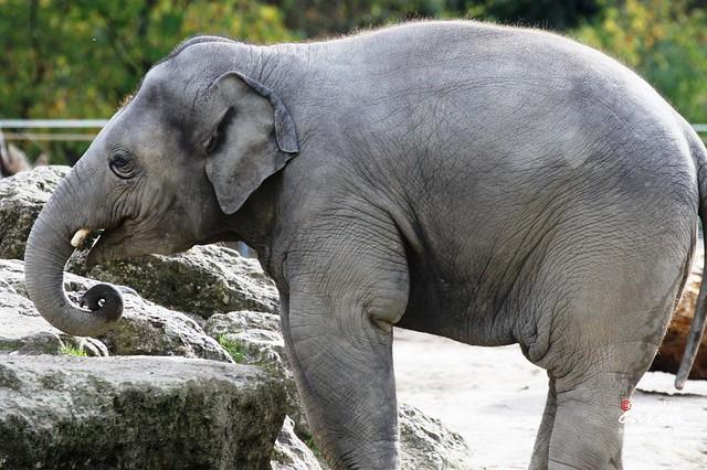 Asiatischer Elefantenjunge Ludwig 2013_10_30 019