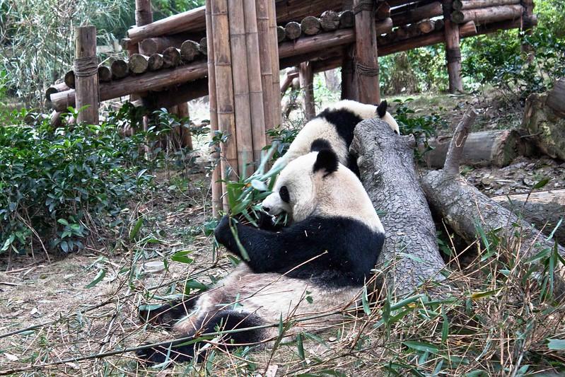 Oso panda comiendo bambú en Chengdu.