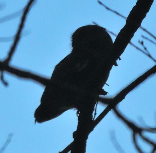 Eastern Screech-owl profile